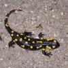 Eldsalamander (Salamandra salamandra)