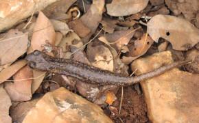 Supramontes grottsalamander (Speleomantes supramontis)