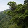 Aya vintergröna skogar