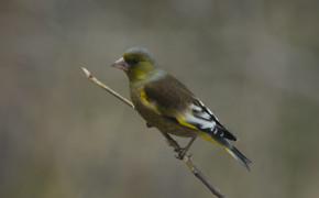 Oriental Greenfinch (Carduelis sinica)