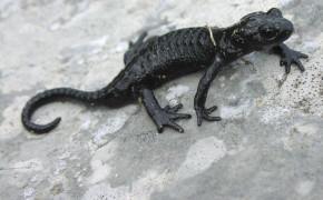 Alpsalamander (Salamandra atra)