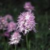 Borstnycklar (Orchis itálica)