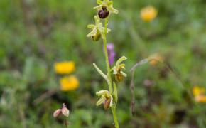 Spindel-ofrys (Ophrys sphegodes)