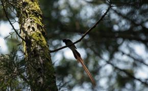 Paradise flycatcher i Zushi