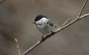 Willow Tit (Poecile montanus)