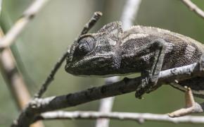 Kameleont (Chamaeleo chamaeleon)